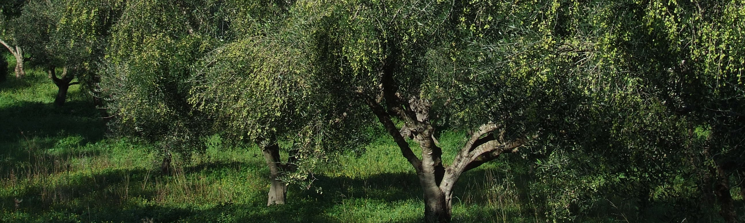 Olijvenbomen van Ellinika